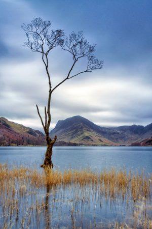 Lone Birch Tree, Buttermere, Lake District