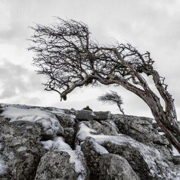 Hawthorn Trees, Twistleton Scar, Yorkshire Dales