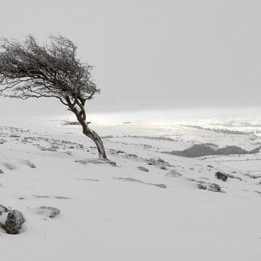 Hawthorn Tree, Twistleton Scar, Yorkshire Dales