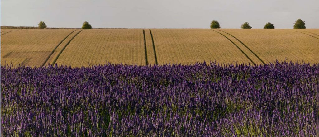Lavender and Wheat Fields, Snowshill, Gloucestershire
