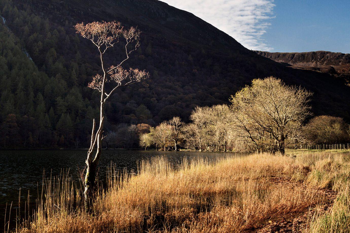 Birch Tree, Buttermere, Lake District