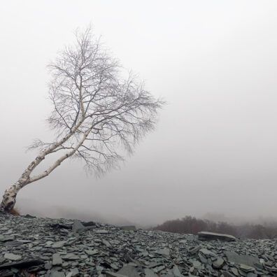 Lone Tree, Hodge Close Quarry, nr Coniston, Lake District