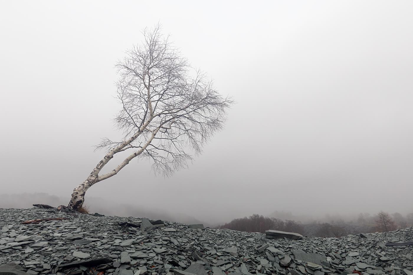 Lone Tree, Hodge Close Quarry, nr Coniston, Lake District