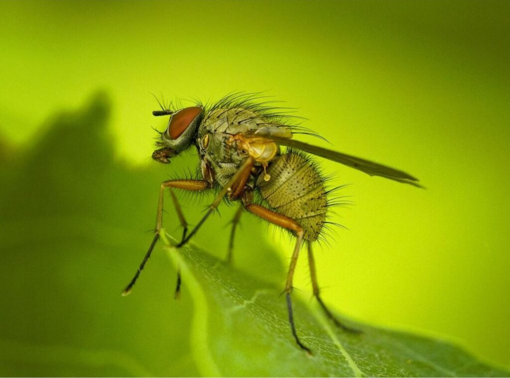 Fruit Fly by Eric Ladbury