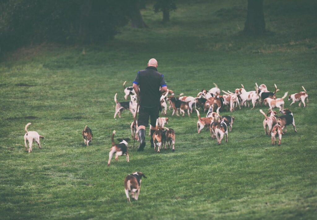Kennel Huntsman and his pack of Beagles, Stowe House