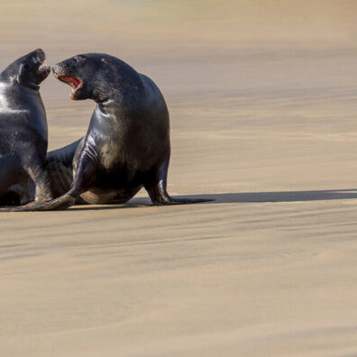 Sea Lions, New Zealand